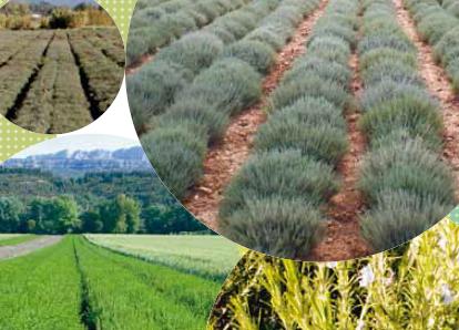 Export plantes aromatiques
